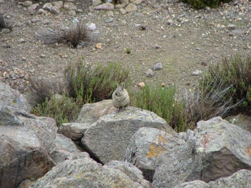 Další ze zdejších živočichů  Lagidium peruanum Meyen, 1833 - činčila horská 18.2.2011 11:16.