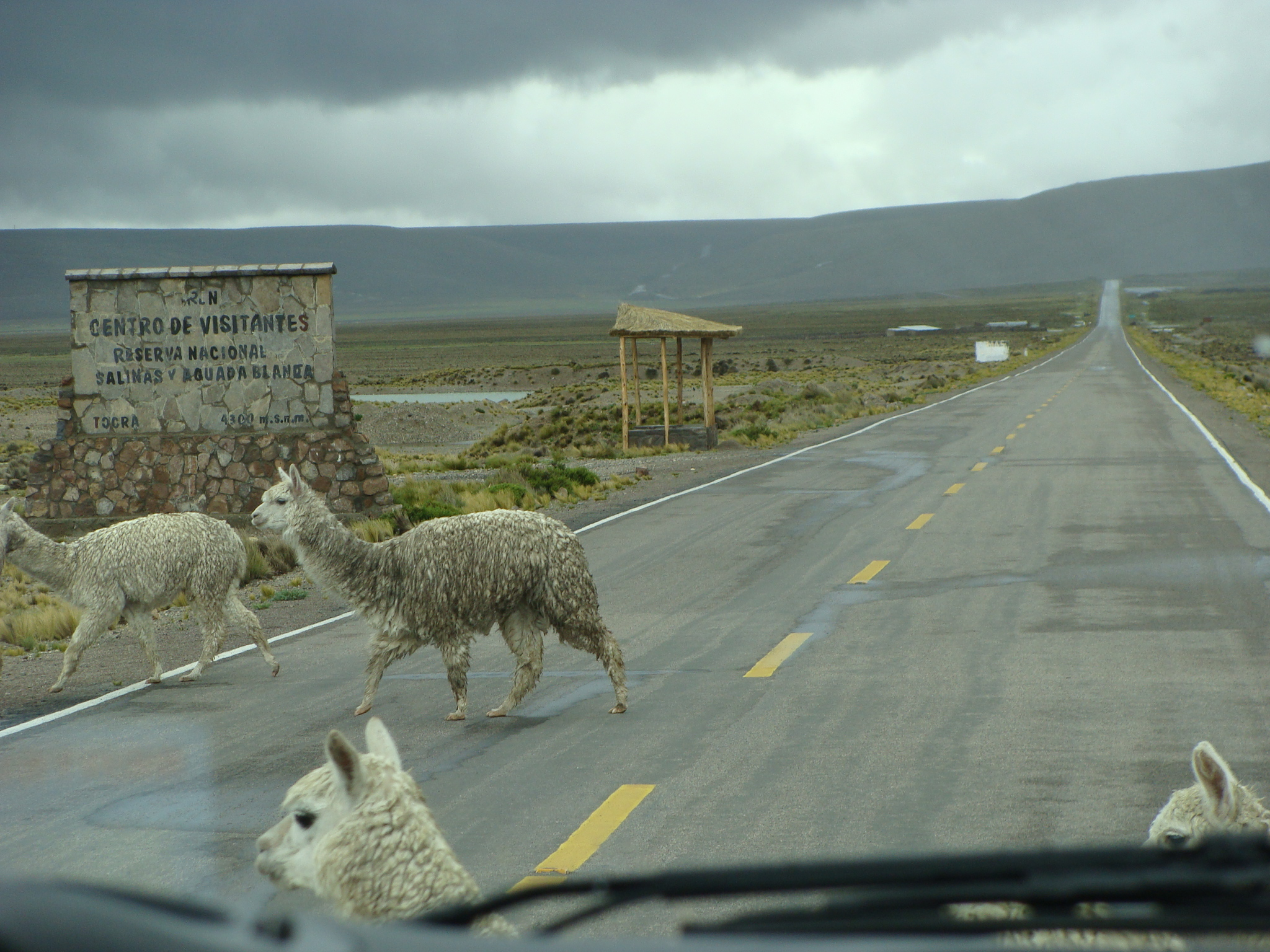 Na cestě do Arequipy - lamy přes silnici 19. 2. 2011 12:57