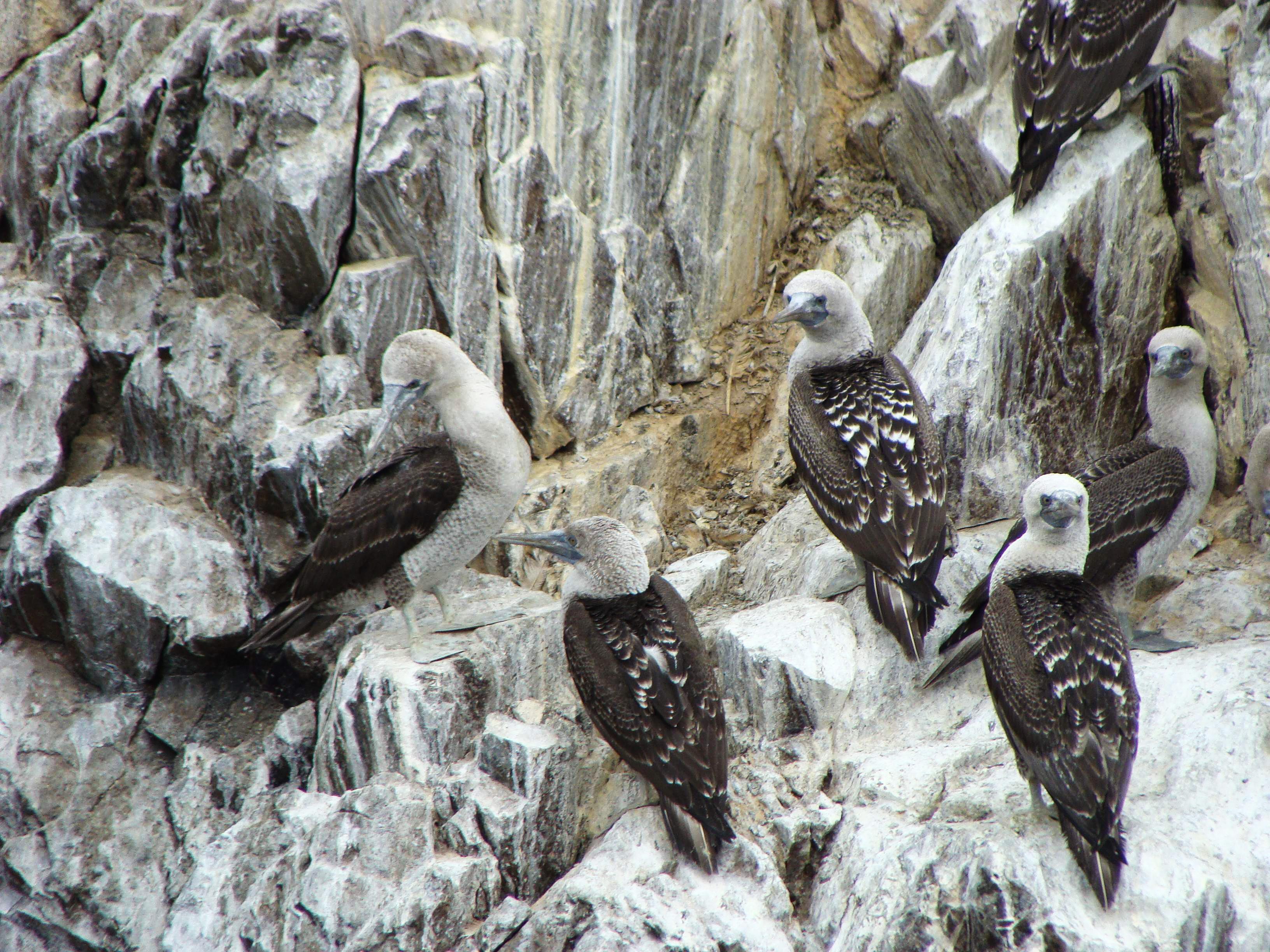 Národní rezervace Islas Balestas - Sula variegata - terej guánový 22. 2. 2011